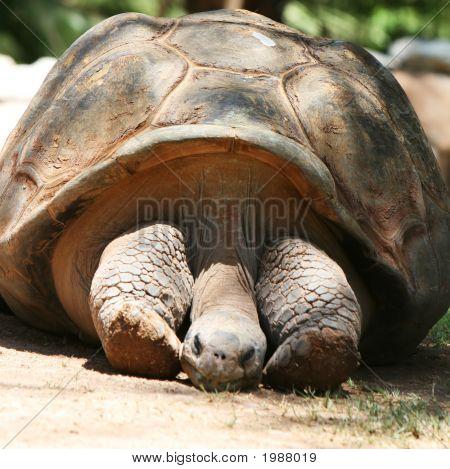 Ancient Tortoise