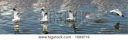 Panorama Seagull Fishing