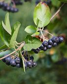 Aronia berries (Aronia melanocarpa, Black Chokeberry) growing in the garden. Branch filled with aron poster