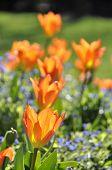 Постер, плакат: Оранжевые тюльпаны