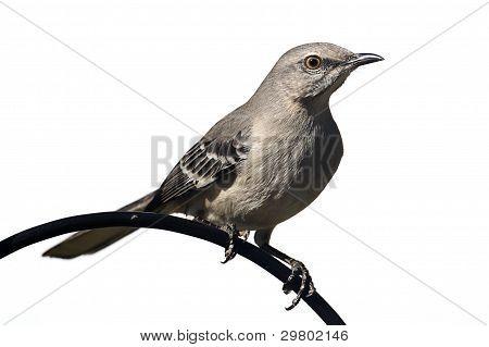 Northern Mockingbird (mimus Polyglottos) On White