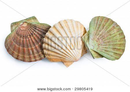 Jakobsmuscheln-Shell