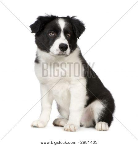 Border Collie Puppy