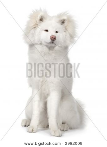 Long Haired Akita Inu (9 Months)