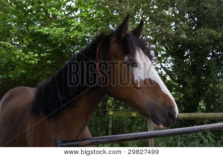Young thoroughbred Horse
