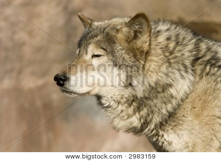 Wolf Blinking At Sun