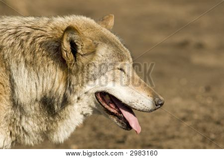 Grey Wolf Blinking At Sun