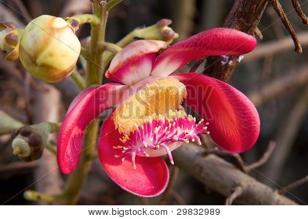 Cannonball Tree Flower Bloom