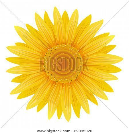Sunflower isolated, Vector format EPS 8, CMYK.