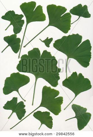 green leaves of gingko biloba japaneese tree