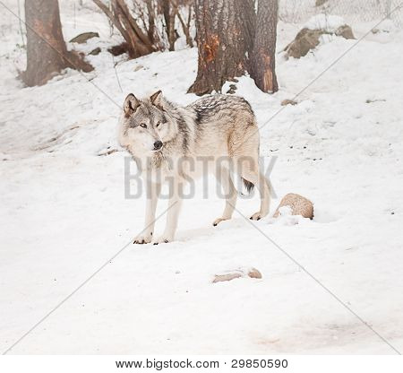 Adult Male Wolf
