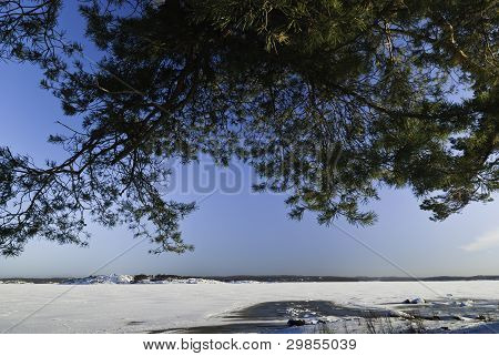 Maritin Pine Tree And Frozen See