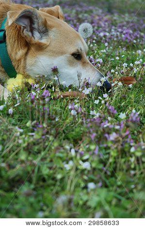 Carolina perro, americano nativo Dingo