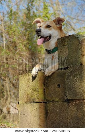 Perro de Carolina en la madera de la pila