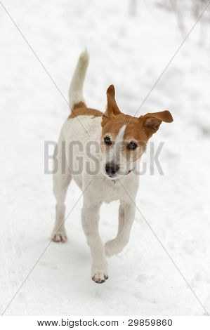 Parson Jack Russell Terrier Running In Snow
