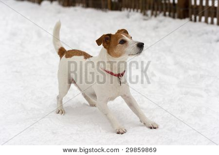 Playful Parson Jack Russell Terrier Ready For A Game In The Snow