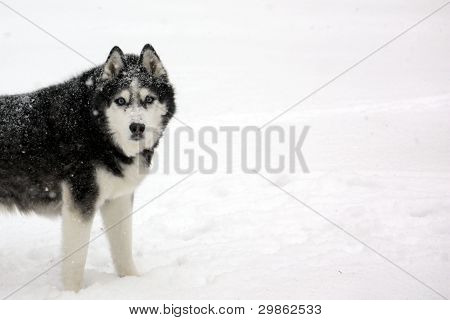 Husky in Blizzard