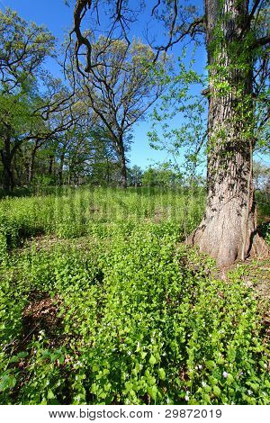 Garlic Mustard In Oak Forest