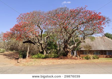 Lucky Bean Tree, South Africa