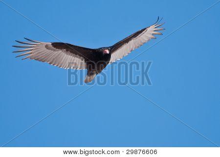 Turkey Vulture Soaring In A Blue Sky