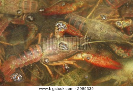 Crawfish In Salt Water
