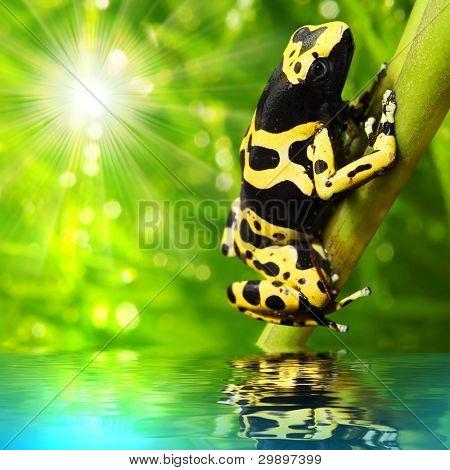The frog (Dendrobates leucomelas) in a rainforest.