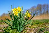 Yellow Spring Flowers Of Narcissus Daffodils On Sunshine Meadow poster