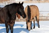 stock photo of shire horse  - Horses in winter - JPG