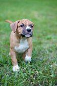 American Staffordshire Terrier. Brown Puppy. Puppy. Staffordshire Terrier. poster