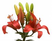 foto of asiatic lily  - Beautiful Asiatic Lily Bloom on a White Background - JPG