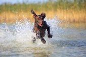 Nice Portrait Of The Thoroughbred Hunting Dog German Shorthaired Pointer Brown Color. Funny Twisted  poster