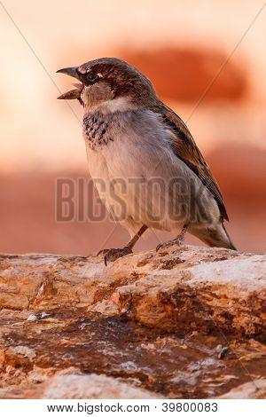 Chirping pardal do deserto de Mojave