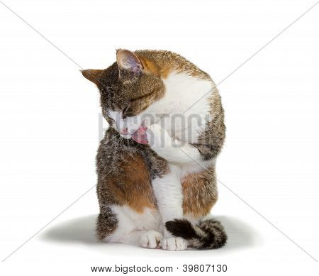 Cat Grooming Its Paw