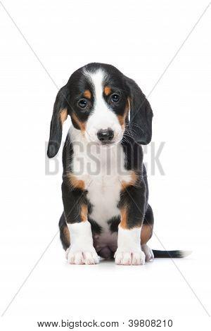 Dachshund Puppy, Westphalian Dachsbracke