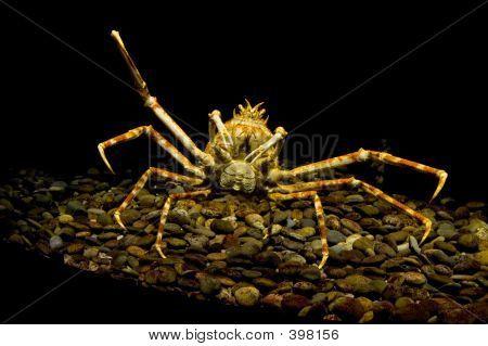 Giant Spider Crab