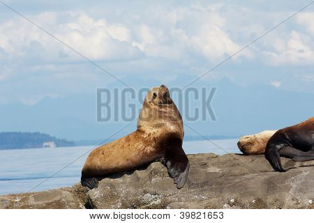 Canadian Stellar Sea Lions Sitting And Lying On A Rock Close To Vancouver