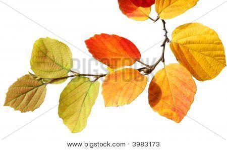 Fall Fothergilla