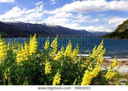 Lake Wanaka Lavender