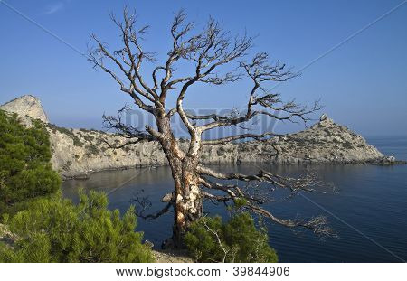 Dead Pine Over The Sea.