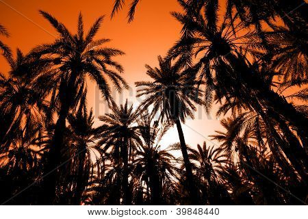 Sunset in dates palm forest