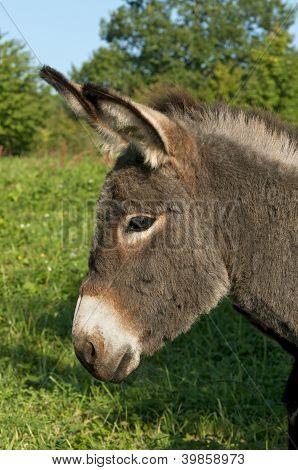 juvenile donkey