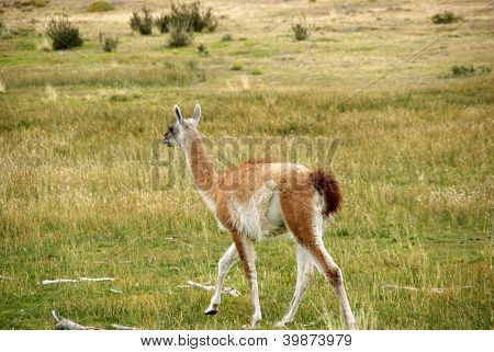 Guanaco no Chile