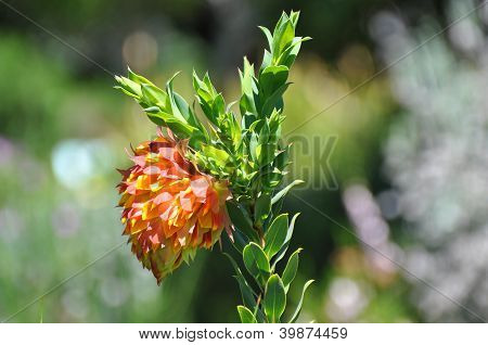 Liparia Splendens (mountain Dahlia)
