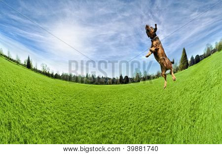 a dog playing jumping in the air in a park
