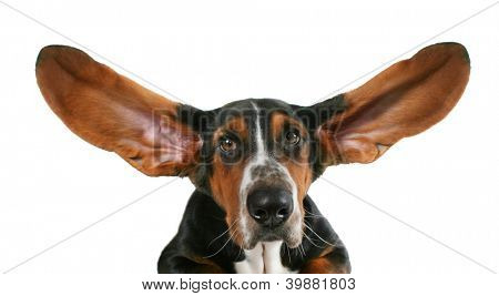 a basset hound with flapping ears