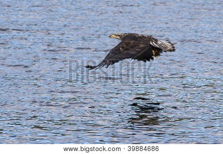 Eagle Close To Water.