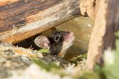 Little Mouse Under A Log