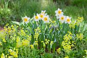 stock photo of narcissi  - White and yellow narcissus on landscaping design flower bed - JPG