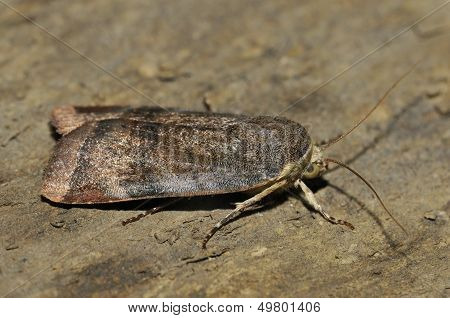 Lesser Broad-bordered Yellow Underwing Moth