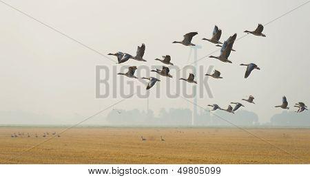 Flock of geese flying in summer